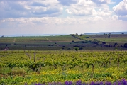 <h5>Khaketi Vineyard</h5><p>A gentle roll to the hills, grapes on the vine, and early summer flowers: this is the birthplace of wine. 																																																			</p>