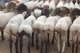 Kajla Sheep http://www.silkroadgourmet.com/category/the-arabian-peninsula/saudi-arabia/
