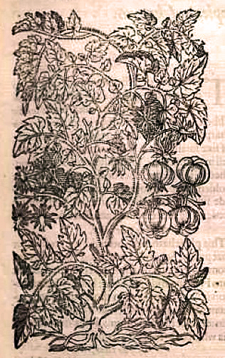 Apples of Love (Tomatoes), Gerarde, 1597
