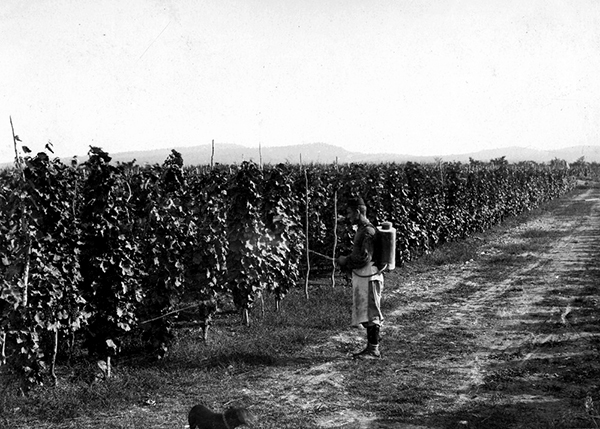 Man Tending Grapevines